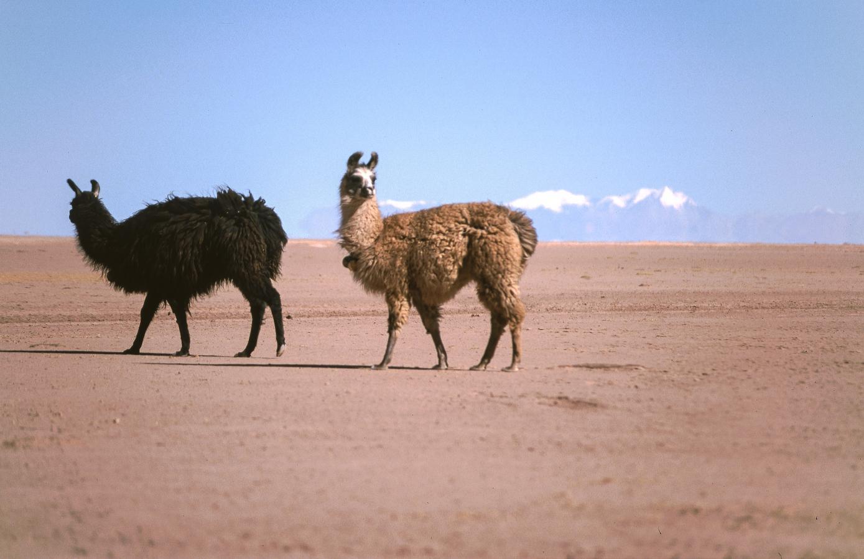 lama-glama-25-bolivia-2001