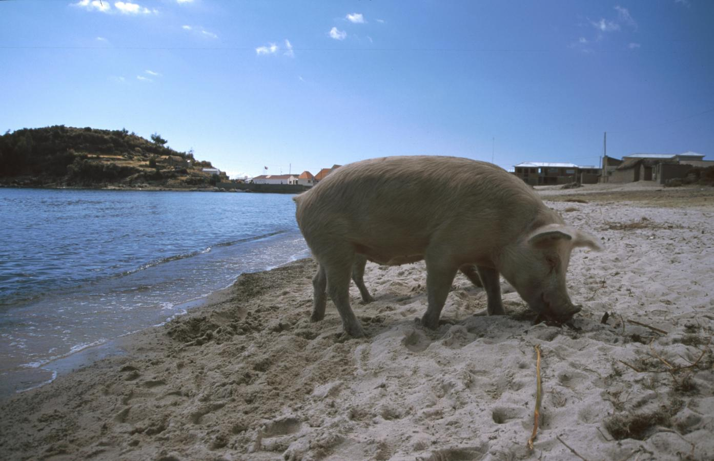 pigs-on-the-beach-lake-titicaca-peru-2001