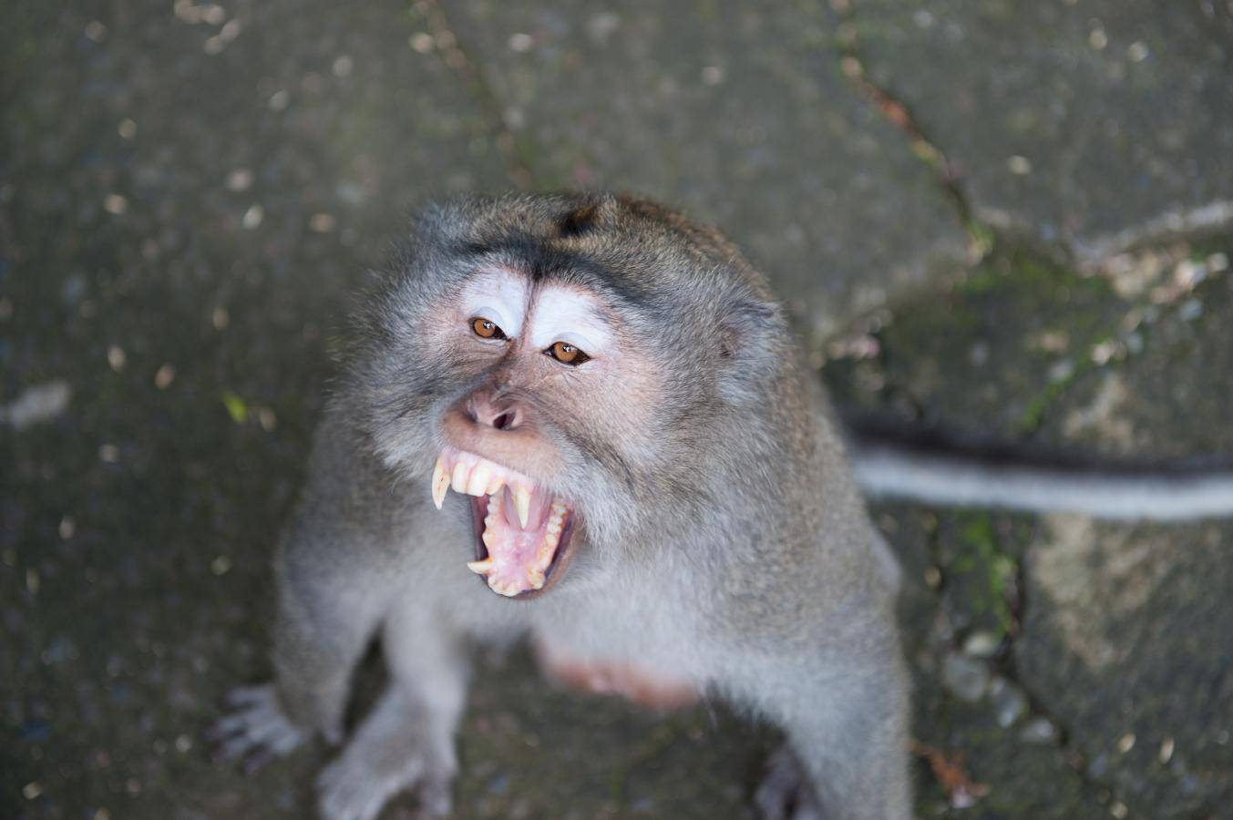 macaque-monkey-bali-2010