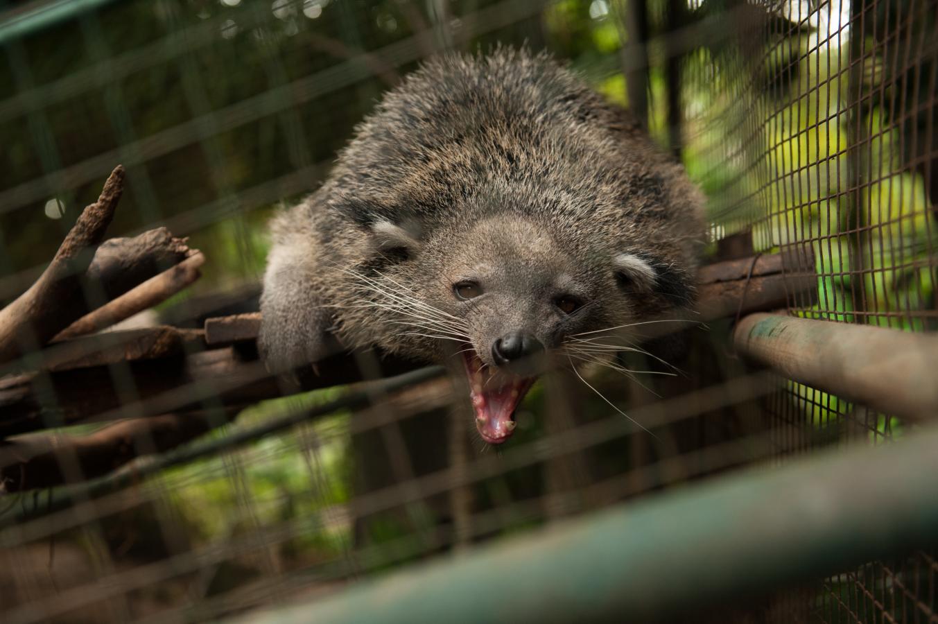 binturong-bali-zoo-singapadu-bali-2013